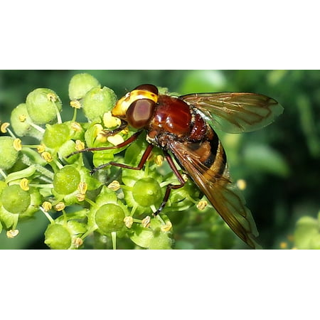 LAMINATED POSTER Close Nectar Hoverfly Pollination Insect Nature Poster Print 24 x 36