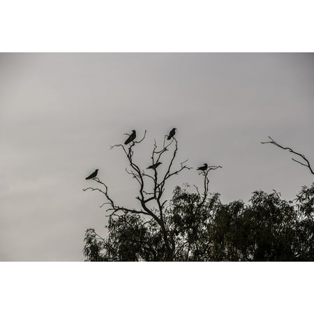 LAMINATED POSTER Bird Black Scary Raven Halloween Tree Crows Dark Poster Print 24 x 36 - Black Crowes Halloween Poster