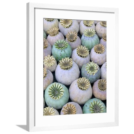 Dried and Green Poppy Seed Heads Framed Print Wall Art By Darrell