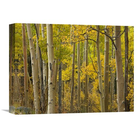 Global Gallery Aspen Trees in Autumn Santa Fe National Forest near Santa Fe New Mexico Canvas Wall Art