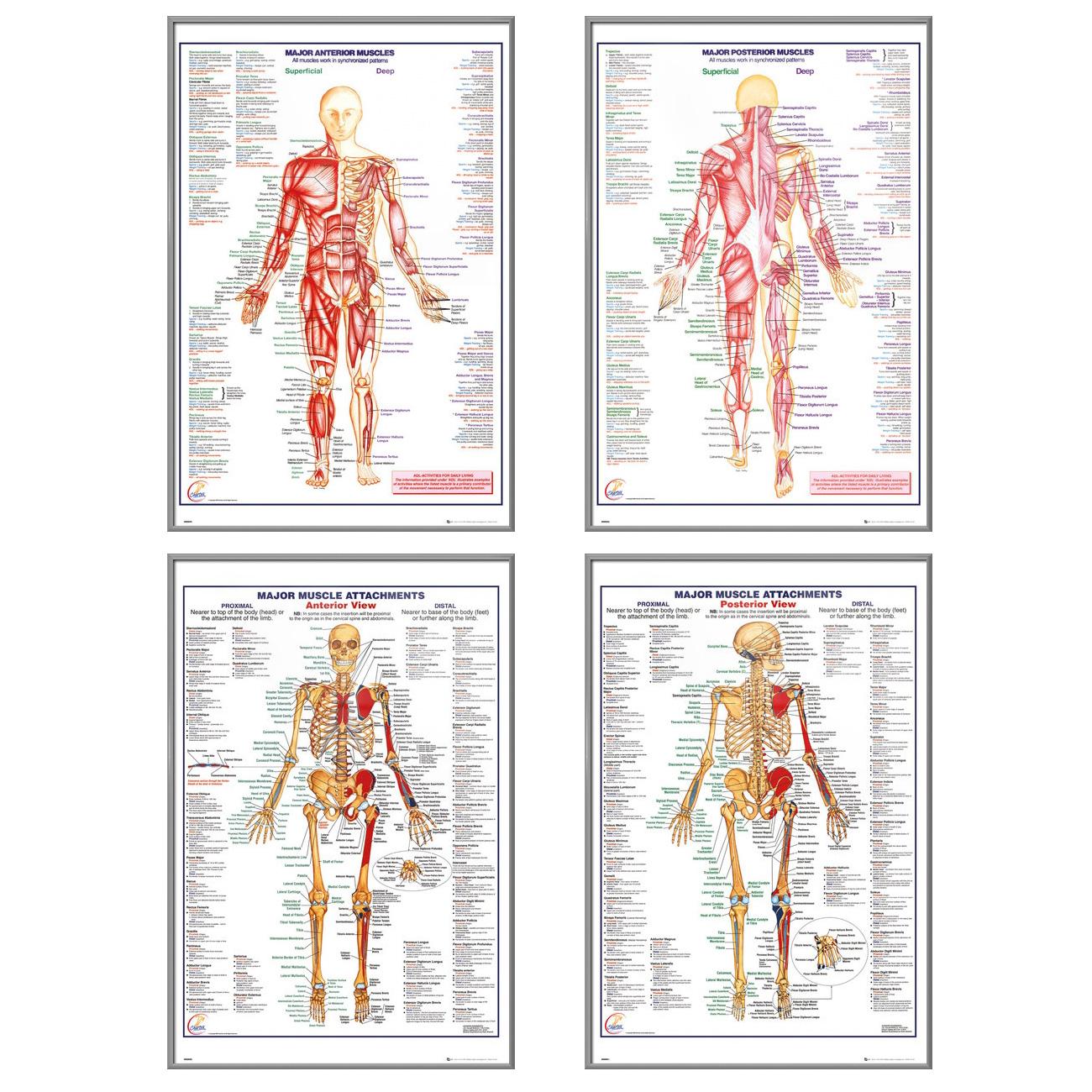 The Human Body - 4 Piece Medical / Educational Poster / Print Set ...