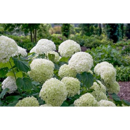 Incrediball®Smooth Hydrangea Arborescens - Live Plant - ( 3in )