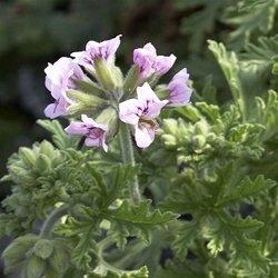 Clovers Garden 2 Citronella Mosquito Repellent Plants In 4 Inch Pots