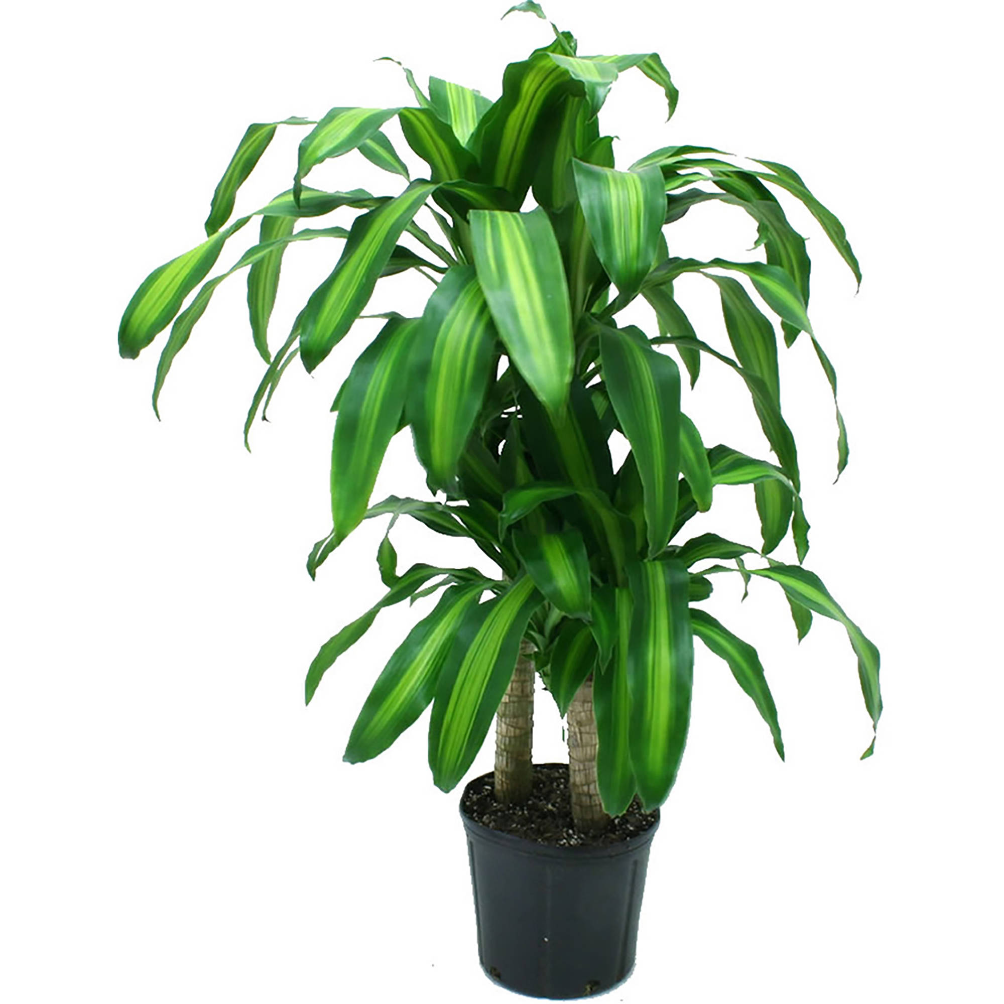 Delray Plants Mass Cane (Dracaena fragrans) Corn Plant Easy to Grow Live House Plant, 10-inch Grower's Pot