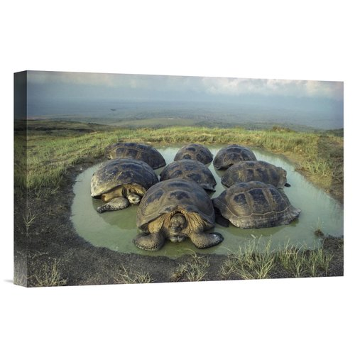 East Urban Home 'Galapagos Giant Tortoises Wallowing, Alc...