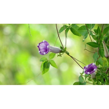 LAMINATED POSTER Plant Morning Glory Vines Flower Poster Print 24 x 36