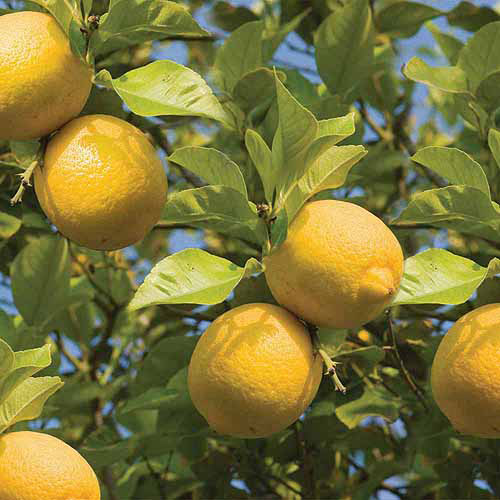 Image of Bloomsz Citrus Fruit Tree Lemon, in Decorative Planter