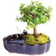 """Brussels Bonsai Live Dwarf Jade Indoor Bonsai Tree in Zen Reflections Pot - 3 Years Old; 8"""" to 10"""" Tall,"""