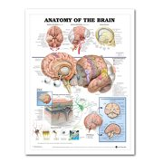 AkoaDa 60x80cm Anatomy Of The Brain Poster Anatomical Silk Cloth Chart Human Body