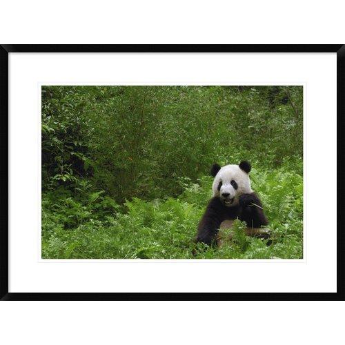 Global Gallery 'Giant Panda Near Bamboo Grove' Framed Photographic Print