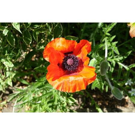 LAMINATED POSTER Garden Red June Poppy Blossom Flower Bloom Plant Poster Print 24 x 36