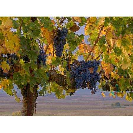Red Wine Grapes Hanging, Yakima, Washington Print Wall Art By Janis Miglavs
