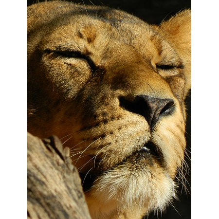 Peel N Stick Poster Of Leo Sleeping Lioness Beasts Poster 24x16