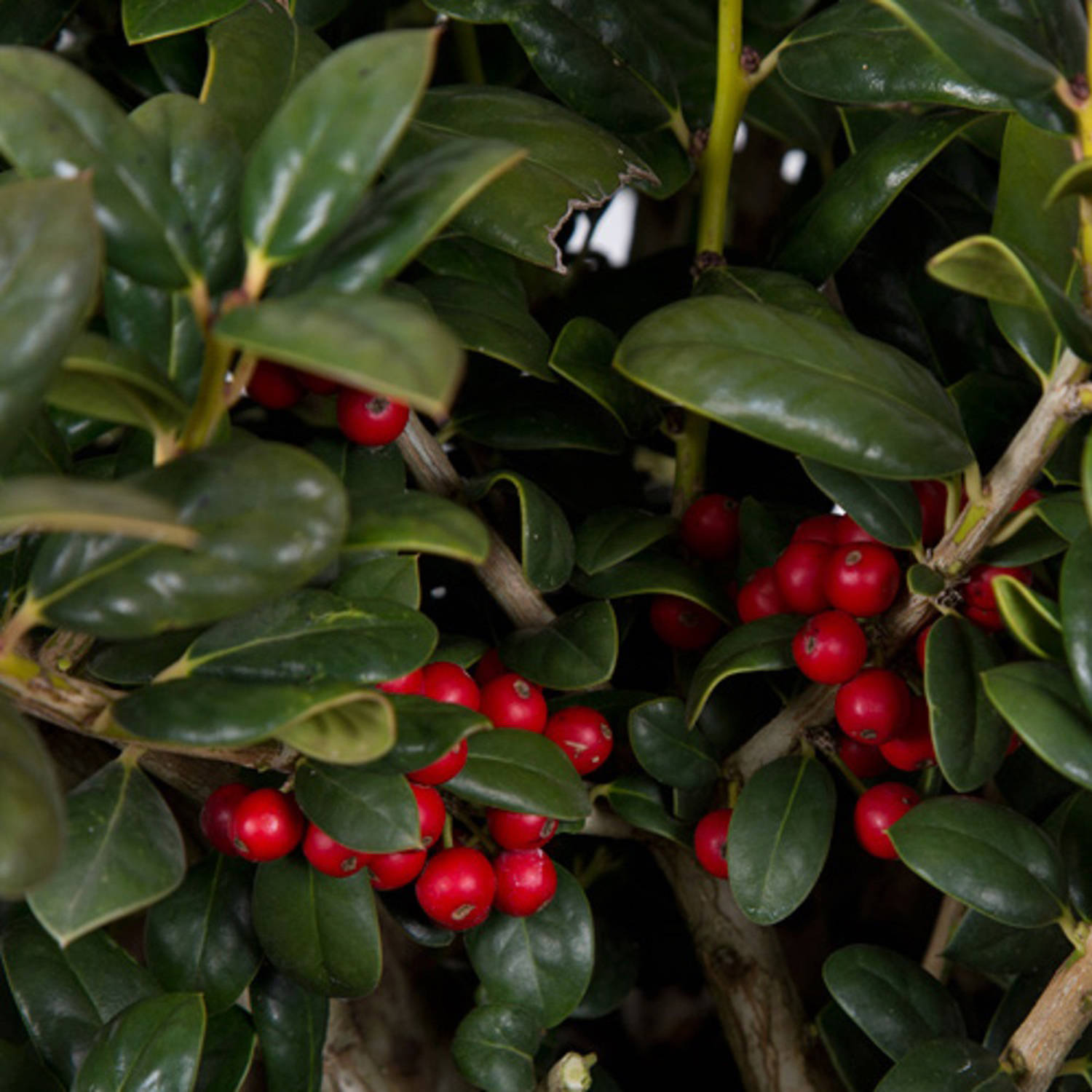 Dwarf Burford Holly (Ilex Cornuta), Evergreen Shrub