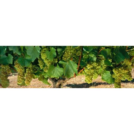 Chardonnay Grapes On The Vine Napa California USA Canvas Art - Panoramic Images (36 x 12)