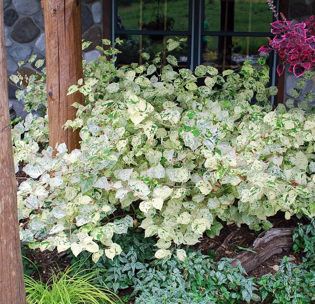 Variegated Fleece Flower Perennial Fallopia Variegata Gallon Pot