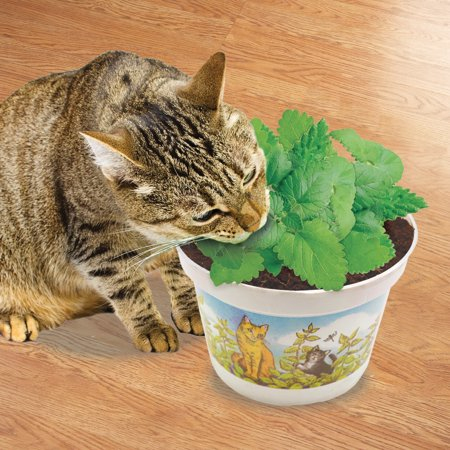 Potted Cat Nip Plant - Grow It Yourself, Treat for Cat or Transfer to Garden to Keep Pests (Best Mulch To Keep Cats Away)
