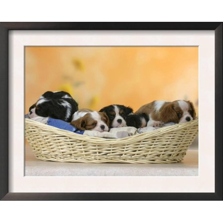 Tri Cavalier King Charles Spaniel - Domestic Dogs, Five Cavalier King Charles Spaniel Puppies, ... Framed Art Print Wall Art