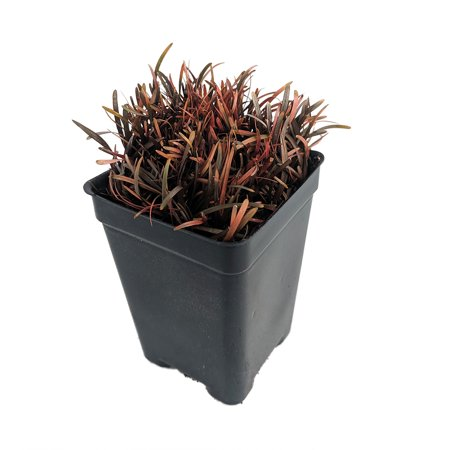 Chocolate Sedge Grass - Carex berggrenii - 2.5