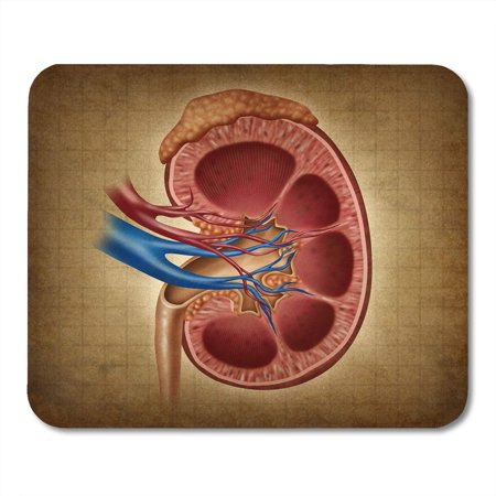 LADDKE Human Kidney on As Medical Diagram Cross Section of The Inner Organ and Adrenal Gland Health Care Anatomy Mousepad Mouse Pad Mouse Mat 9x10 (Arm Anatomy Diagram)
