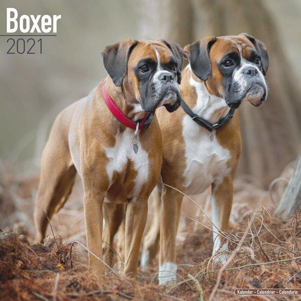 Calendrier Euro Volley 2021 Boxer (Euro) Calendar 2021   Boxer Dog Breed Calendar   Boxers