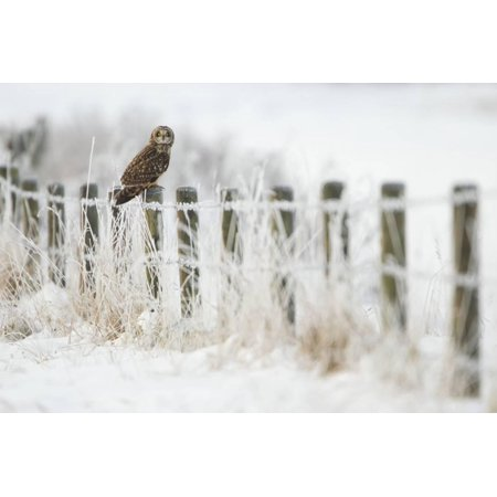 Short-Eared Owl (Asio Flammeus) Perched on a Fence Post, Worlaby Carr, Lincolnshire, England, UK Print Wall Art By Danny Green - Fence Post Art