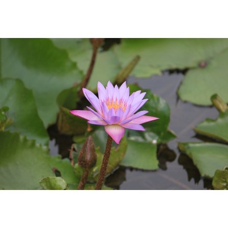 LAMINATED POSTER Bloom Aquatic Petal Flower Waterlily Lotus Poster Print 24 x 36