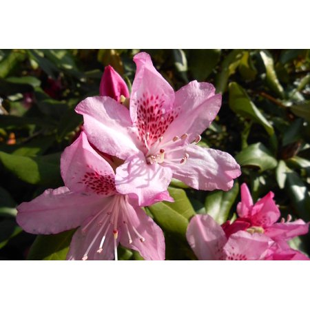 - Peel-n-Stick Poster of Blossom Pink Rhododendron Open Bloom Garden Poster 24x16 Adhesive Sticker Poster Print