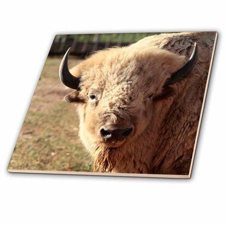 3dRose White buffalo wildlife, Santa Fe, New Mexico - US32 JMR0089 - Julien McRoberts - Ceramic Tile,