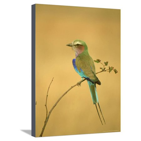 Lilac-Breasted Roller, Coracias Caudata Adult Perched, Botswana, Southern Africa Stretched Canvas Print Wall Art By Mark