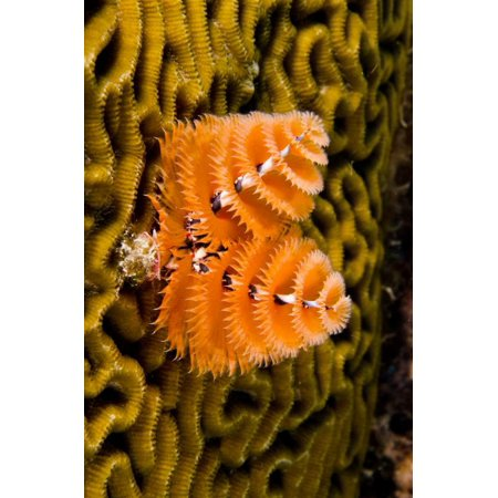 Christmas Tree Worm filter feeding while attached to Brain Coral Bonaire Netherlands Antilles Car Poster Print by Pete Oxford ()
