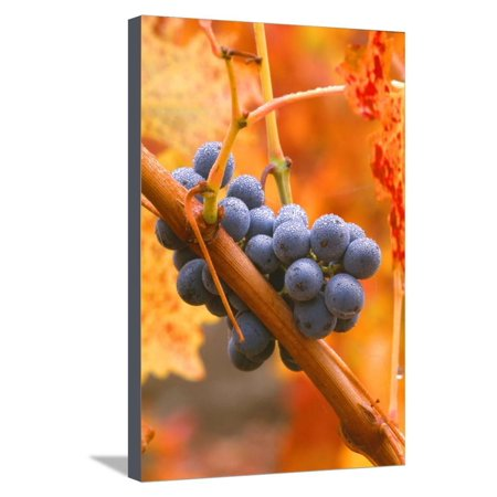 Napa Valley Vineyards Cabernet - California, Napa Valley, Wine Country, Dew on Cabernet Grapes in Colorful Vineyard Stretched Canvas Print Wall Art By John Alves