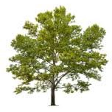 The Dirty Gardener Platanus Racemosa California Sycamore Trees, 50 Seeds