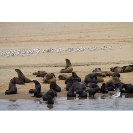 Cape Fur Seal Colony At Pelican Point Walvis Bay Namibia Africa Canvas Art   David Wall  Danitadelimont  35 X 24
