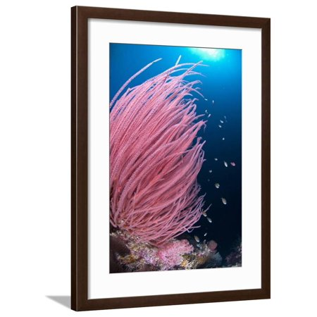 Red Whip Coral (Ellisella cercida) with small fish on reef, Kadola Island, Maluku Islands Framed Print Wall Art By Colin Marshall