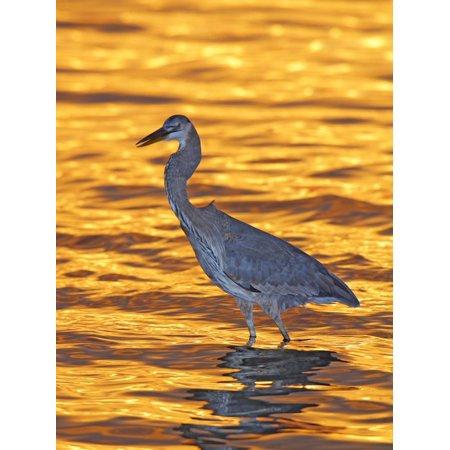 Great Blue Heron in Golden Water at Sunset, Fort De Soto Park, St. Petersburg, Florida, USA Print Wall Art By Arthur Morris