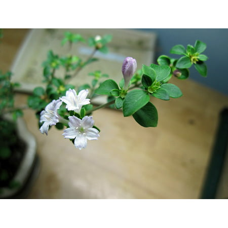 Cherry Blossom Serissa Tree - 2.5  Pot - House Plant, Fairy Garden Plant, Bonsai The Serissa genus has only one species (Serissa foetida syn. Serissa japonica), but comes from a huge family of between 4500 and 5000 species. It is an evergreen shrub to 45 cm (18 in) high with oval, deep green, rather thick leaves that have an unpleasant smell if bruised. It is grown for its neat habit, good coverage of branches and long flowering time. It is also valued for its rough, grey trunk which tends to get lighter in colour with age. The Serissa flowers practically all year round, but particularly from spring to fall (autumn). The flowers are funnel-shaped and mostly white in color.Instead of the loud, varigated leaves of   Pink Mountain  , this foliage is delicately edged in white with strong, single pink flowers. Natural miniature tree that does not like to dry out.