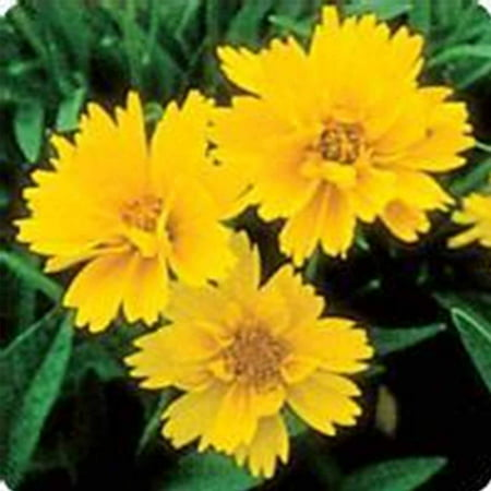 Early sunrise coreopsis flower seeds 1000 seeds perennial flower early sunrise coreopsis flower seeds 1000 seeds perennial flower garden seeds coreopsis grandiflora mightylinksfo