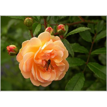 Laminated poster apricot hoverfly blossom rose bloom for Rose adesive