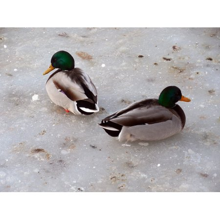 Frozen Duck Foie Gras - LAMINATED POSTER Ducks Lake Cold Frozen Snow Ice Winter Pond Poster 24x16 Adhesive Decal