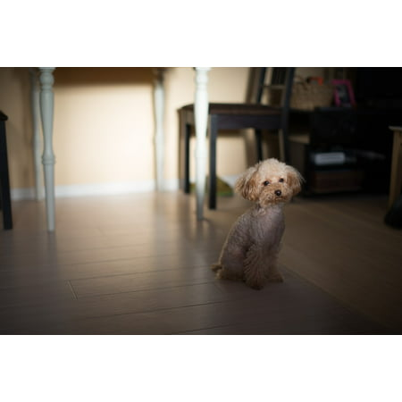 Toy Poodle Dog - LAMINATED POSTER Toy Poodle Animal Pet Dog Poodle Poster 24x16 Adhesive Decal