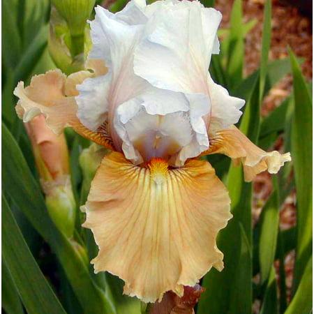 Champagne Elegance Bearded Iris - Rebloomer! - 4
