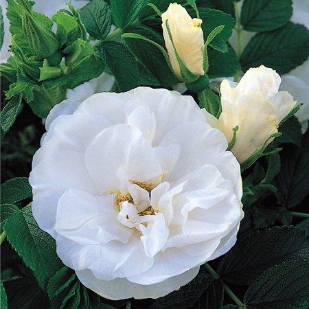 Rugosa Rose (Blanc Double de Coubert Rugosa Rose Bush - 4