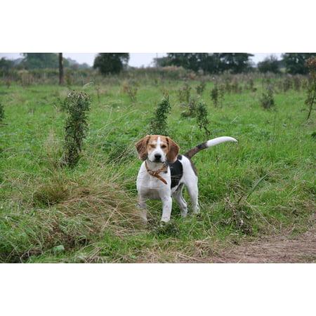 Canvas Print Pet Beagle Beagle Pup Canine Hound Dog Puppy Stretched Canvas 10 x - Beagle Dog Puppy