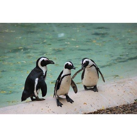 Laminated Poster Wild Animal Bird Nature Wildlife Cute Penguin Poster Print 24 X 36