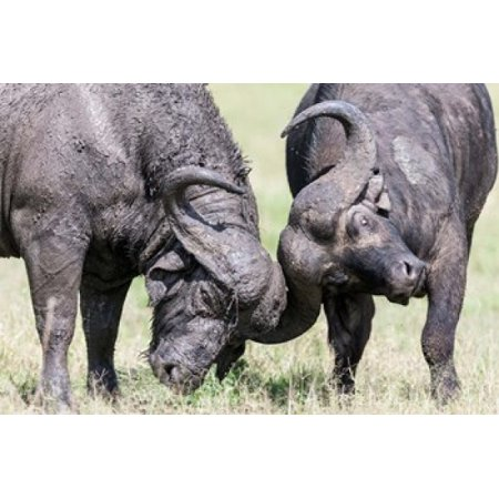 Two Bull African Buffalo Head Butting In A Duel Maasai Mara Kenya Poster Print By Martin Zwick