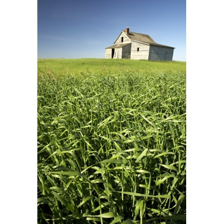 - Crops And Abandoned Farmhouse Near Leader Saskatchewan Canvas Art - Gemstone Images  Design Pics (22 x 34)