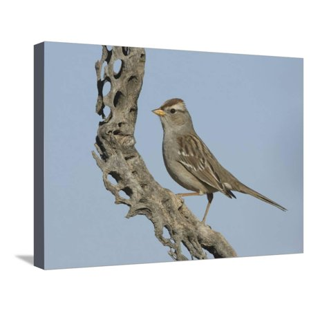 Cholla Cactus Skeleton (White-Crowned Sparrow Immature on a Cholla Cactus Skeleton (Zonotrichia Leucophrys), Arizona, USA Stretched Canvas Print Wall Art By Charles Melton)