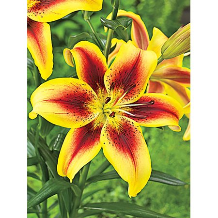 Viva la Vida Oriental Lily - 2 Bulbs - Bold Colors - 16/18 cm
