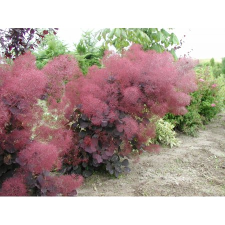 "Royal Purple Smoke Bush - Cotinus - Flowering Shrub - 4"" Pot"
